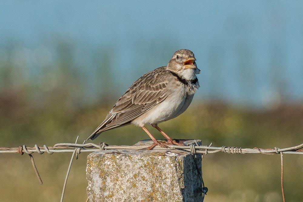 Calandra lark singing from a post