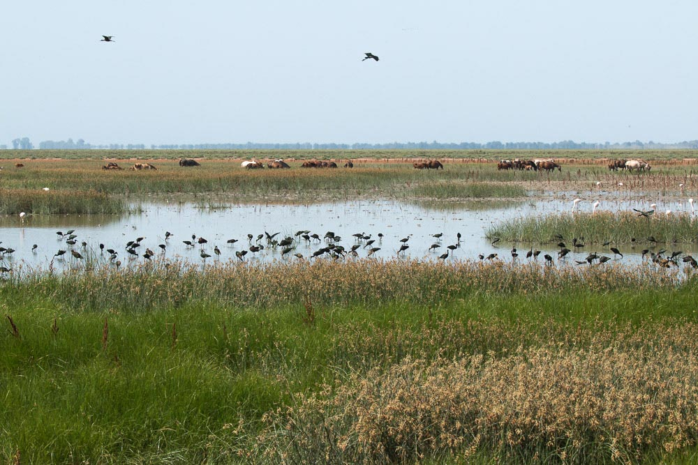 Marshes with a flock of glossy ibis and horses