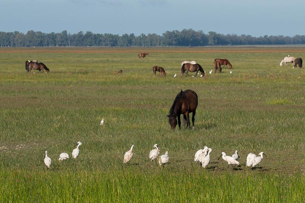Marisma verde con espátulas y caballos