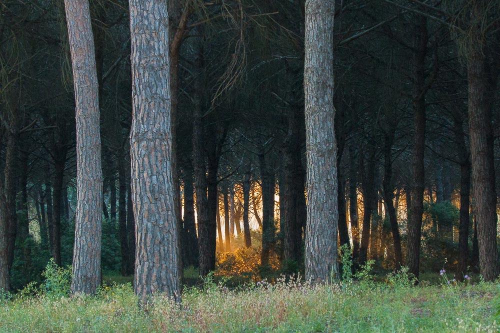 Sol saliendo detrás de los árboles en un pinar