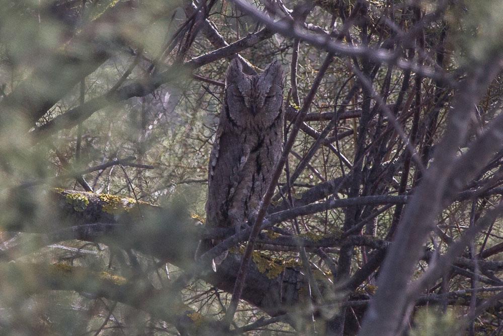 Autillo escondido en un árbol