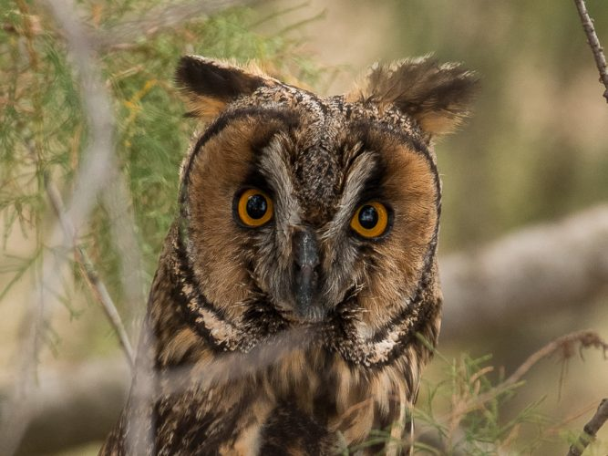 Head of long-eared owl