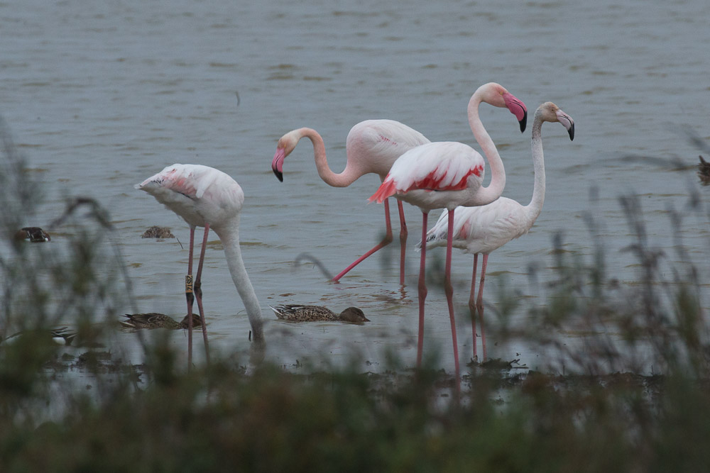 Four greater flamingos