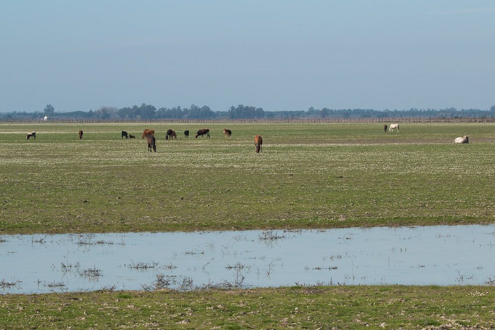 A group of horses and cows feeding in the marshes