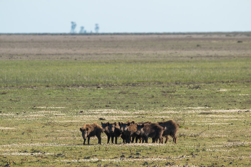A group of young wild boar in the middle of the marshes