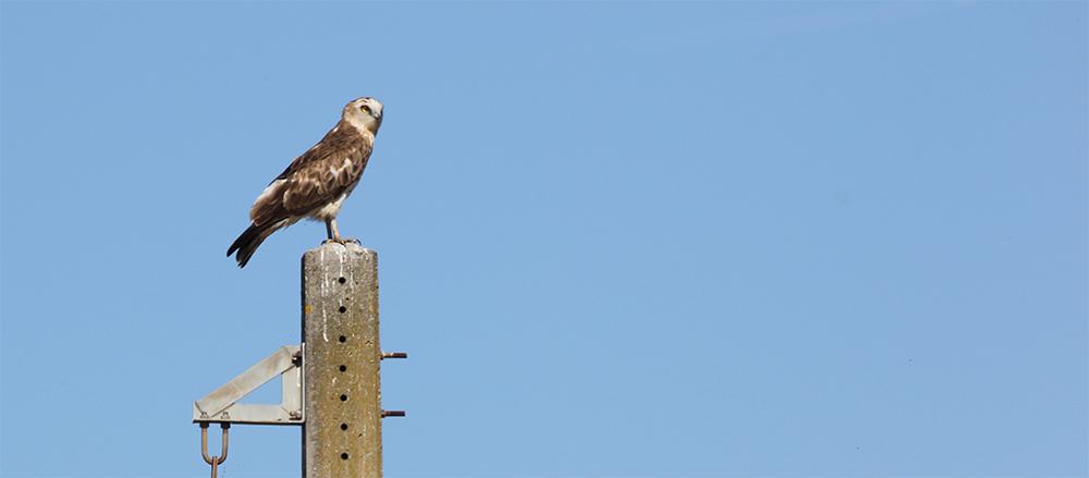 short-toed eagle on a pylon