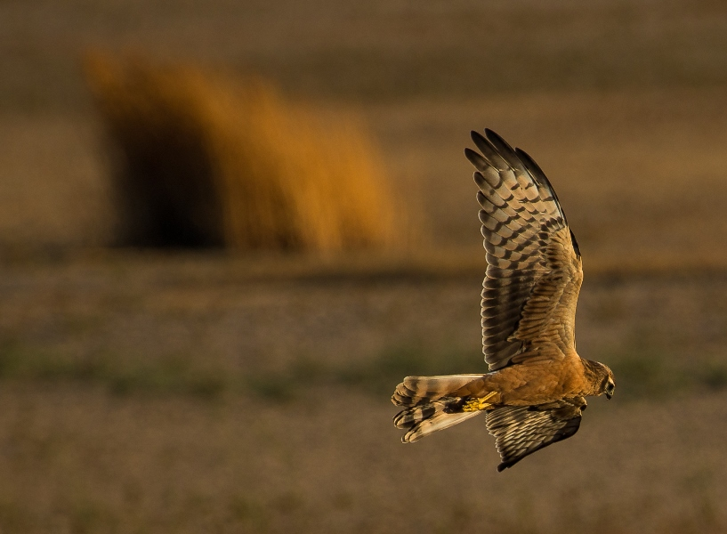 Young Montagu's harrier flying at sunset