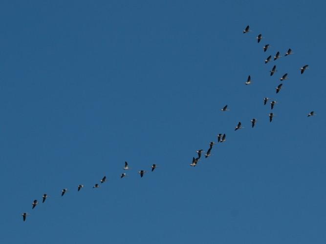 bando de ánsares en vuelo