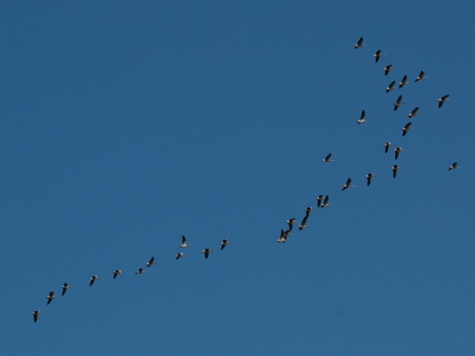 Greylag geese flock