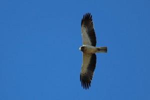 Águila calzada en vuelo vista desde abajo