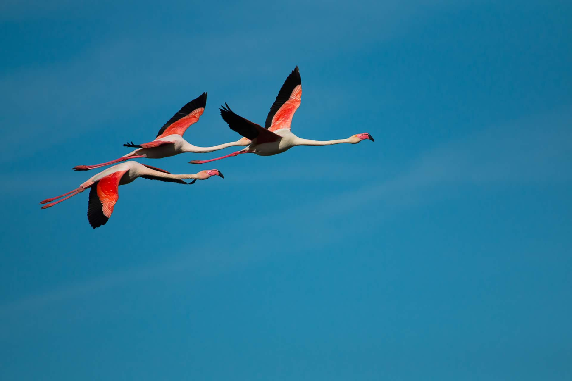 flamingo-flying-donana