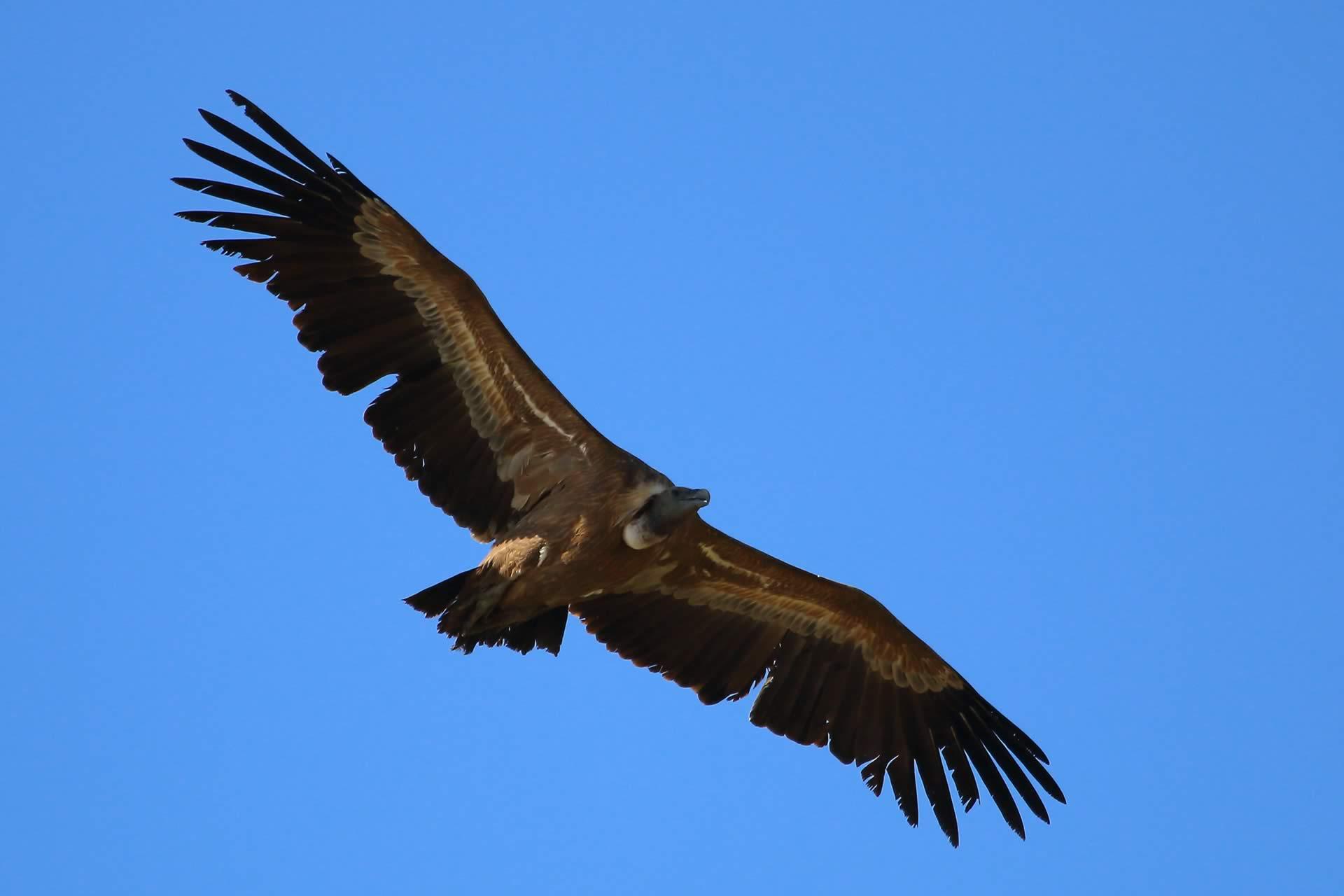 griffon-vulture-donana
