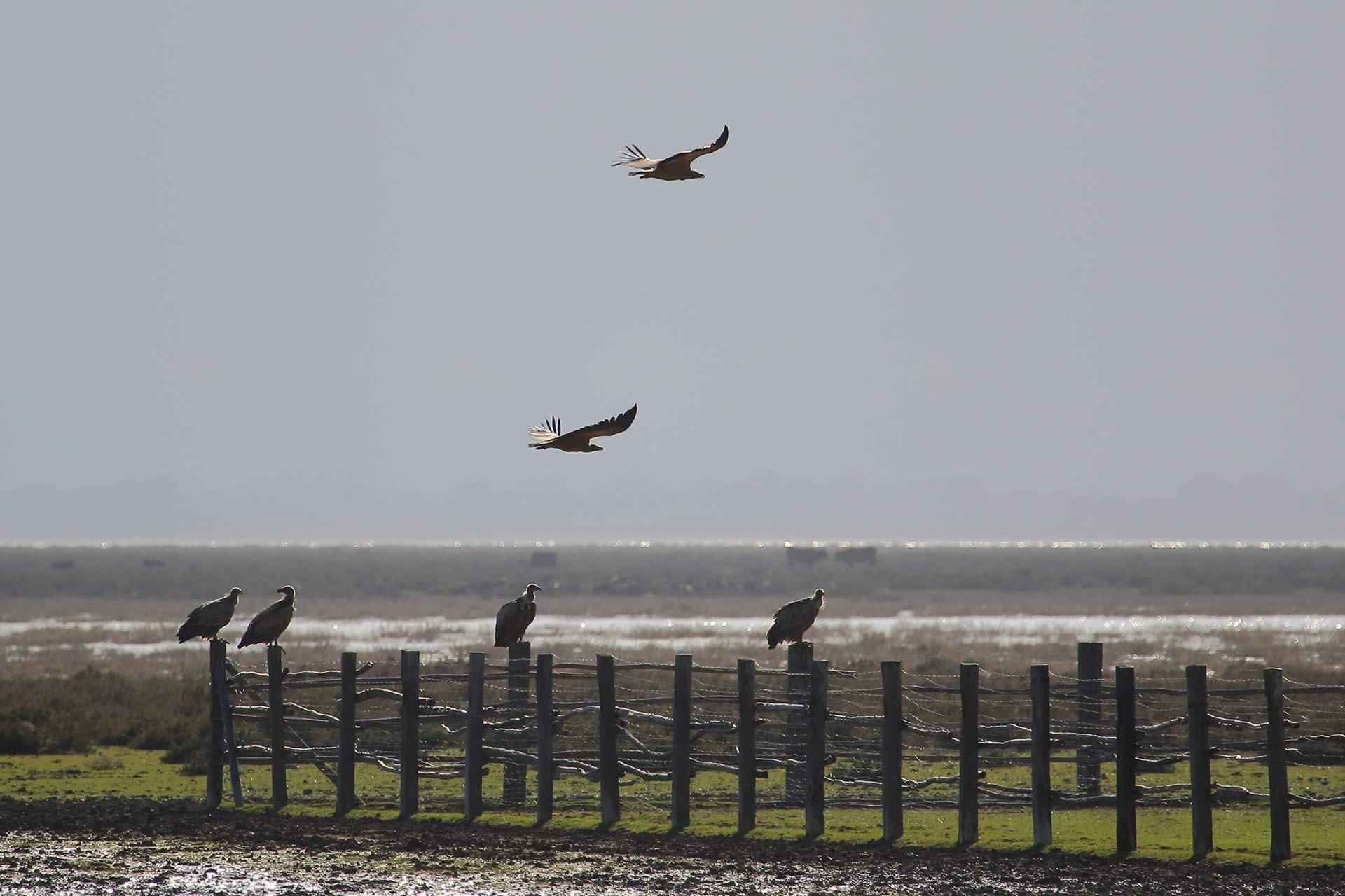 griffon-vulture-group-donana