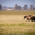 Horses in the marshes