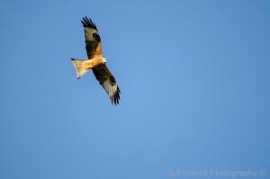 Red kite flying