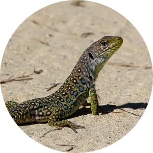 lagarto-circulo