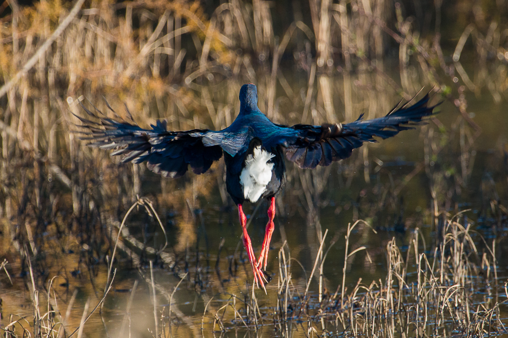Purple swamphen in flight