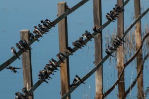 Group of swallows resting on a fence