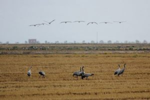 Cranes in a harvested rice field