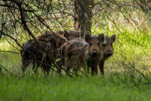 Group of wild boar piglets