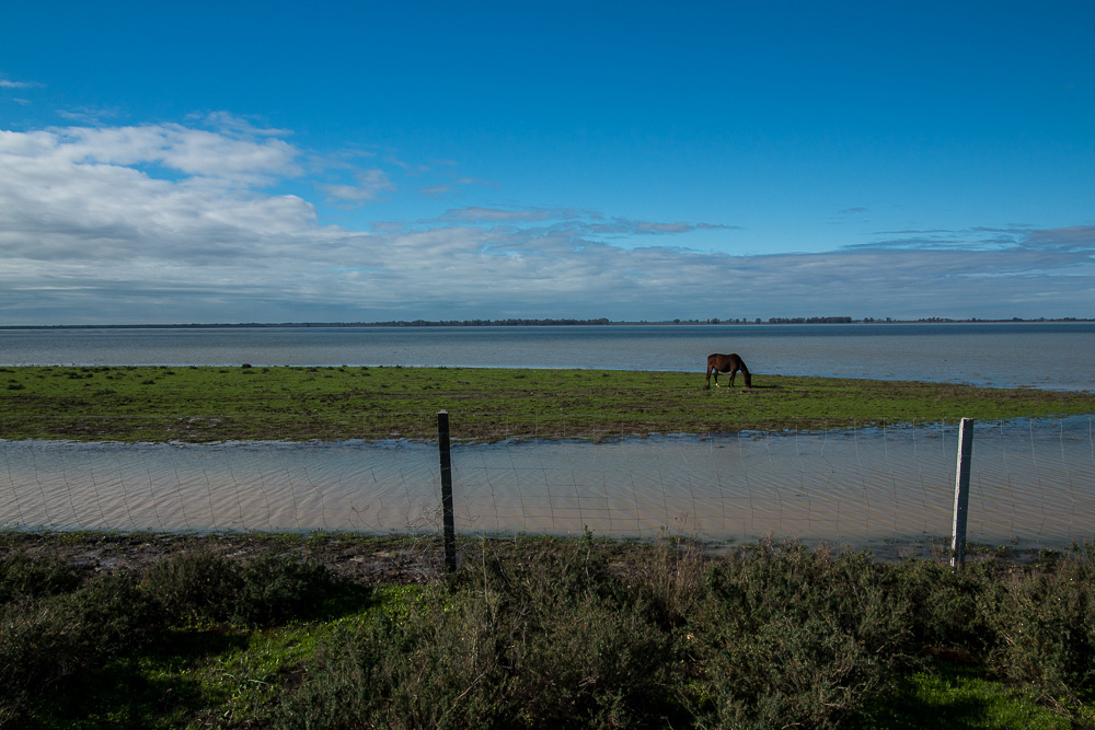 Solitary horse feeding in the marshes
