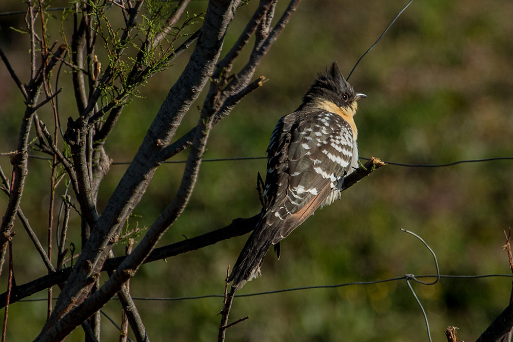 Young great spotted cuckoo