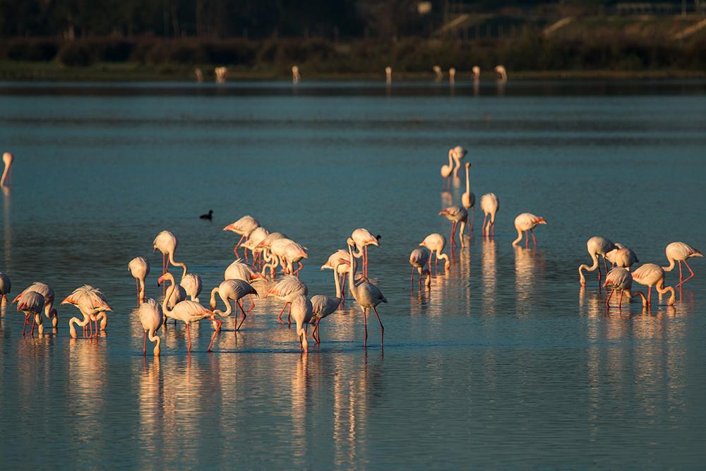 Groups of flamingos under sunrise light