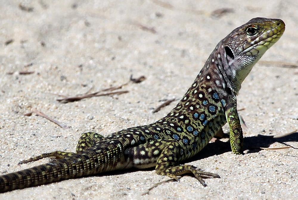 young eyed lizard
