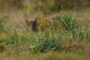 lynx hidden in the vegetation