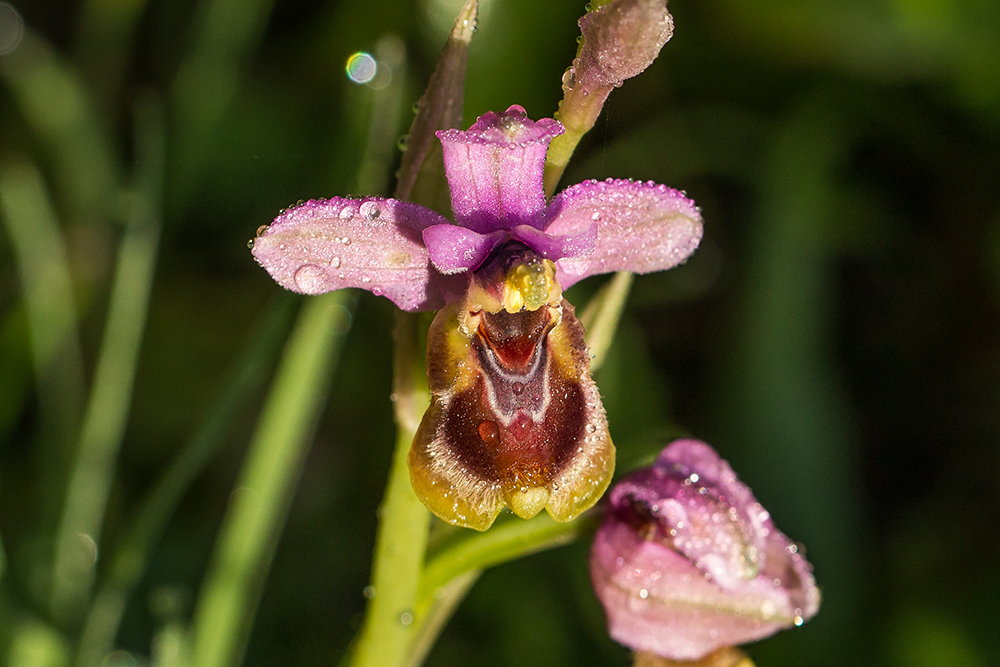 Bee orchid (ophrys tenthendrinifera)