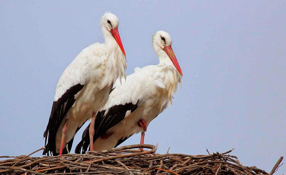 pareja de cigüeñas sobre su nido