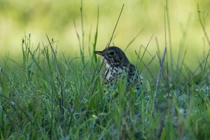 song thrush in the grass