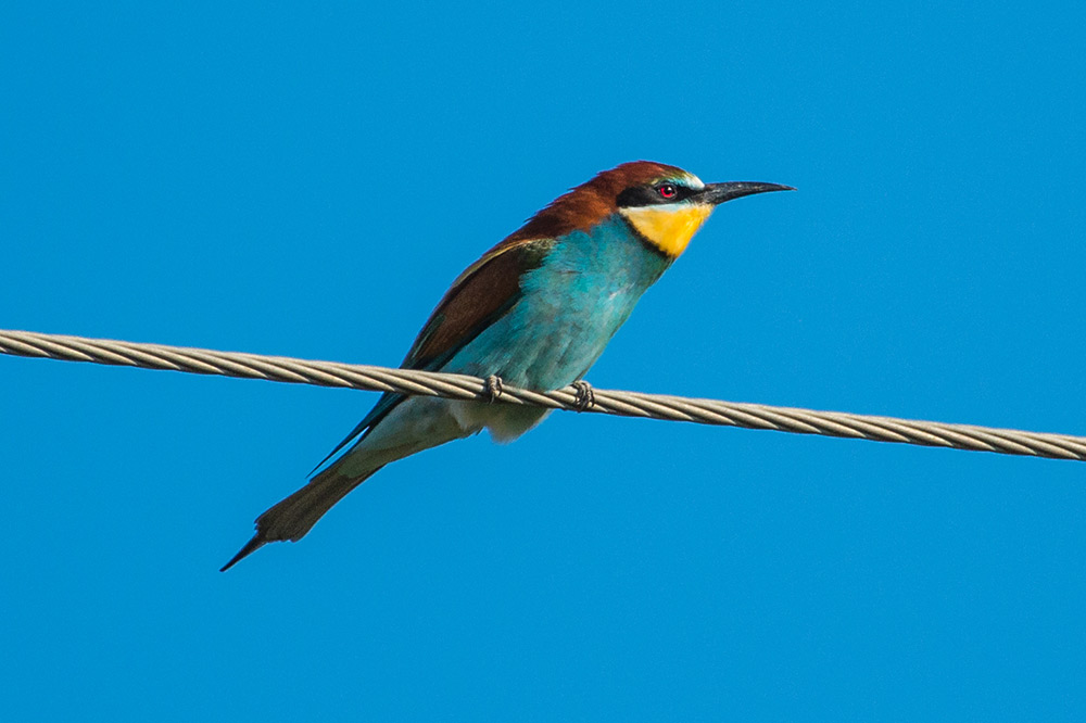 Bee-eater on a wire