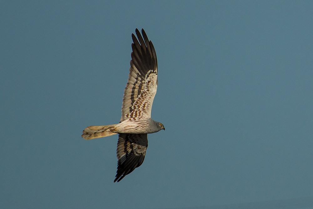 male montagu's harrier in flight