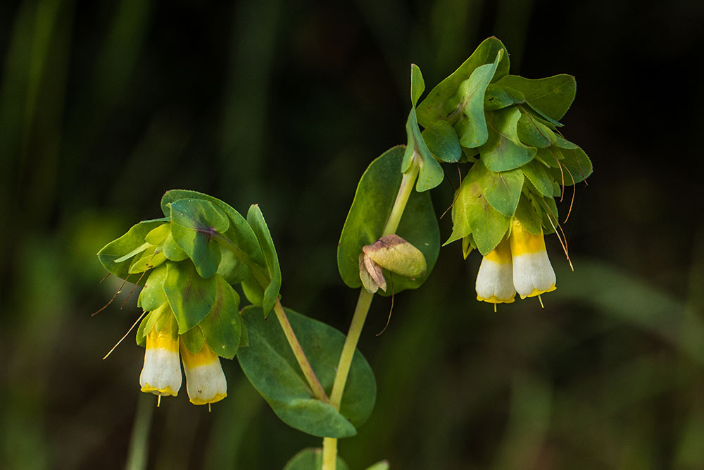 Flowers of cerinthe gymandra