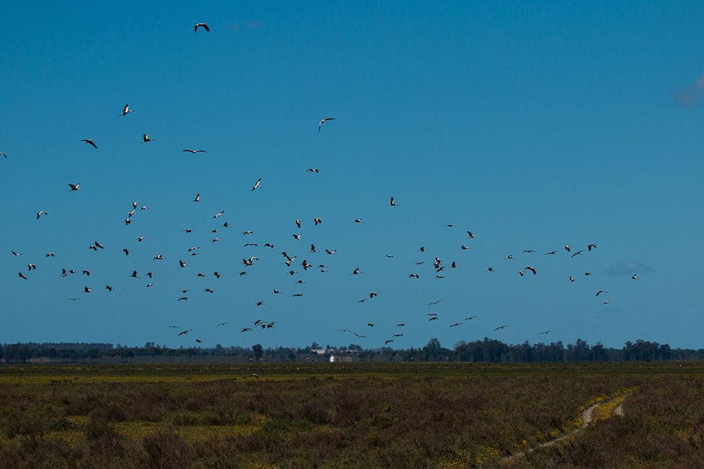 flock of white stork