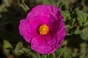flor de cistus crispus