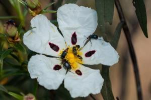 flor del cistus ladanifer con pequeños escarabajos
