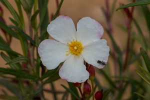 flor del cistus libanotis