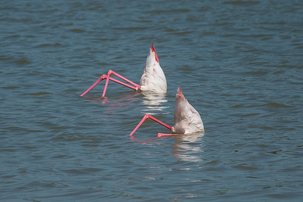 two flamingos feeding with half of the body down the water