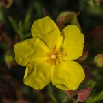Flower of halimium calycinum