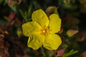 Flor del halimium calcynum