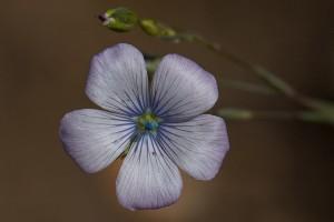 flor de linum bienne