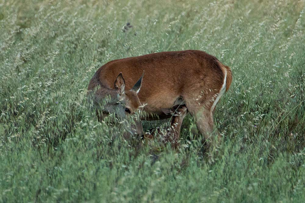 female red deer with a young feeding