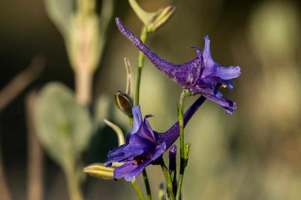 Flores de delphinium gracile