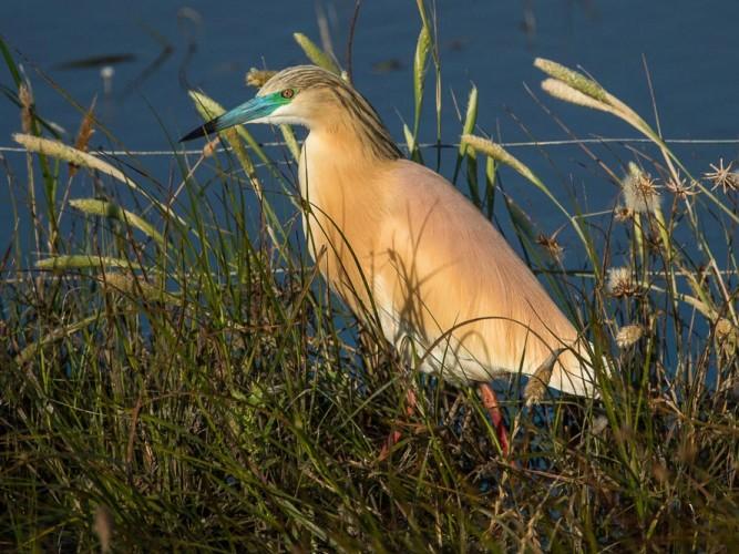Squacco heron in full breeding plumage