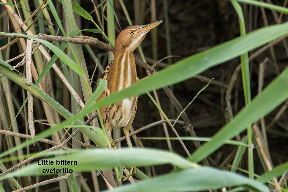 little bittern in among the reeds