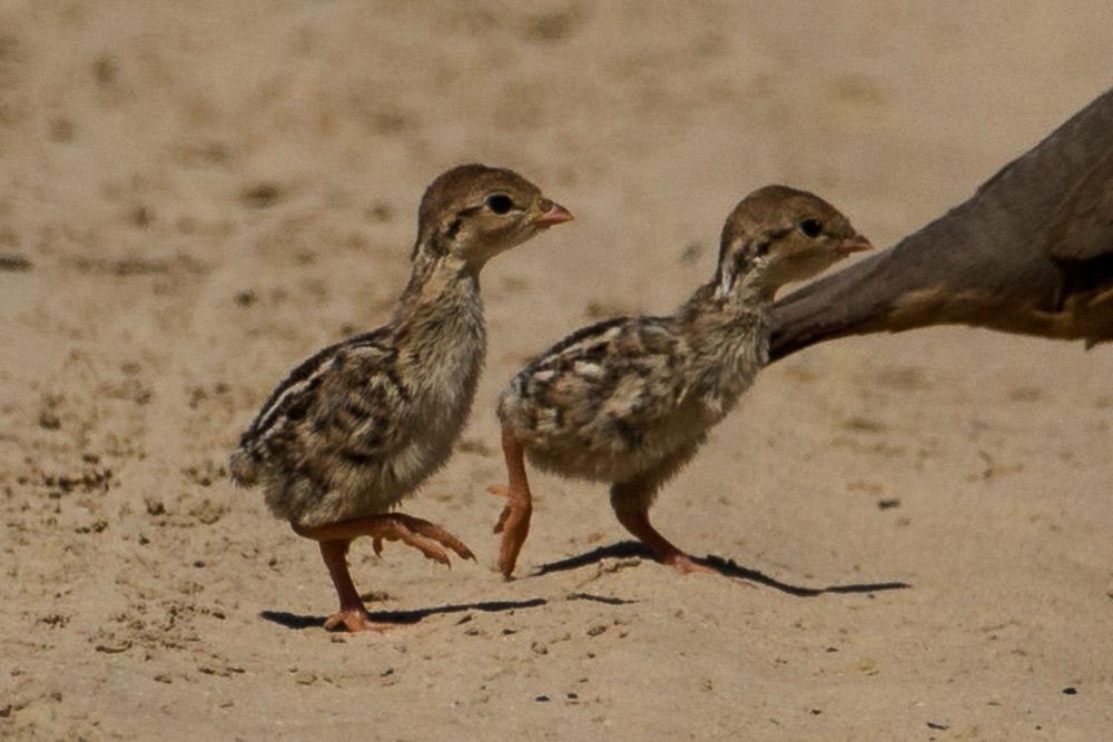 Dos pollos recién nacidos de perdiz