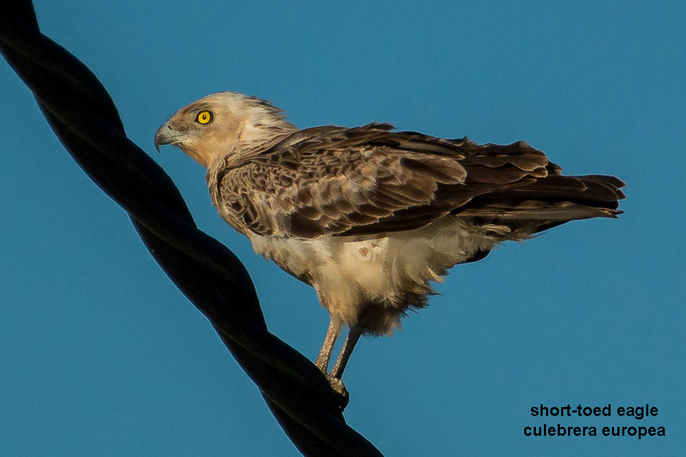 short-toed snake eagle perched on a wire