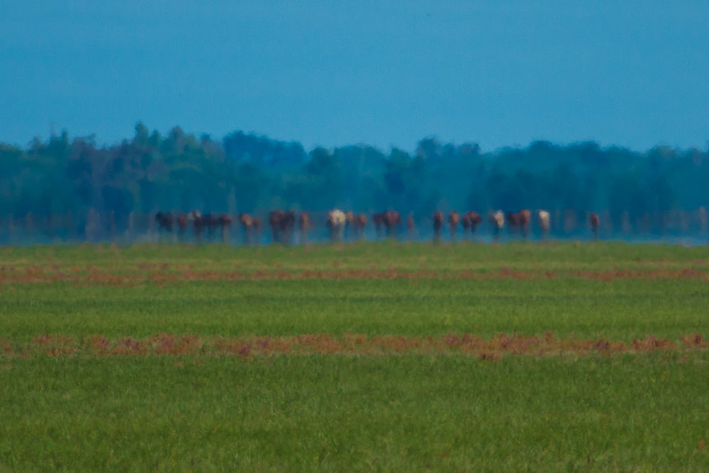 Group of distant marsh mares